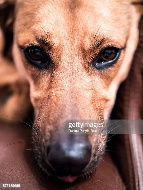 German Shepherd Hound Mix Stock Photos And Pictures Getty Images