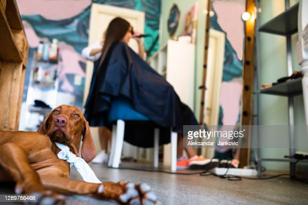 pet friendly - pointer dog stock pictures, royalty-free photos & images