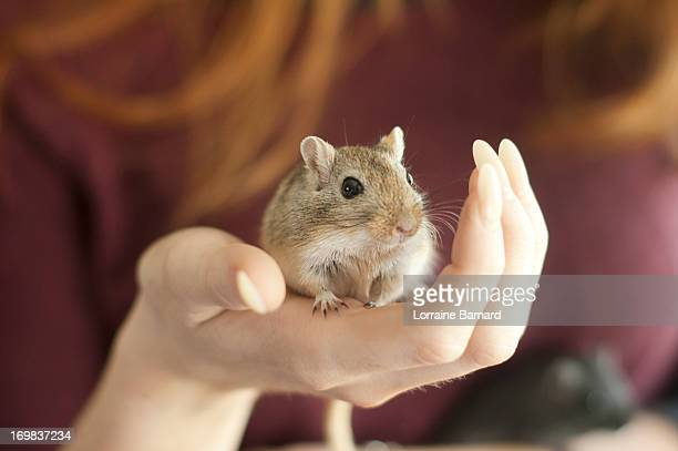pet gerbil in hand - gerbil - fotografias e filmes do acervo