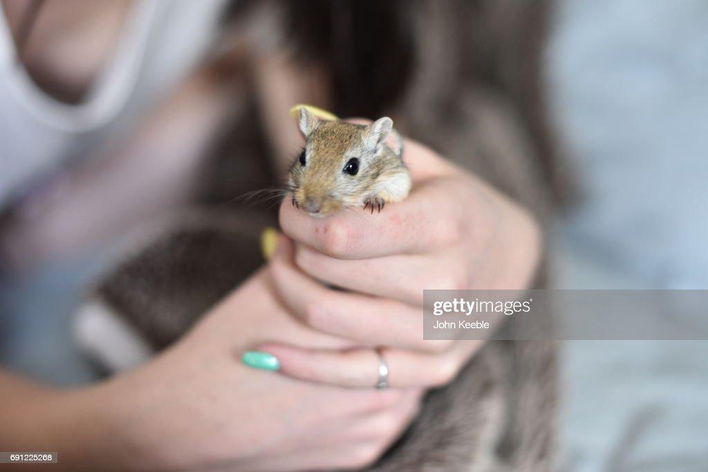 Pet Gerbil : Stock Photo