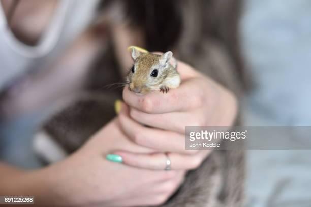 pet gerbil - gerbil stock photos and pictures