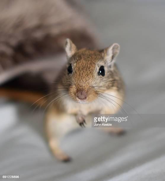 pet gerbil - gerbil stock pictures, royalty-free photos & images