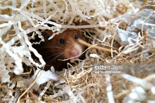 a  pet golden hamster. - golden hamster stock pictures, royalty-free photos & images