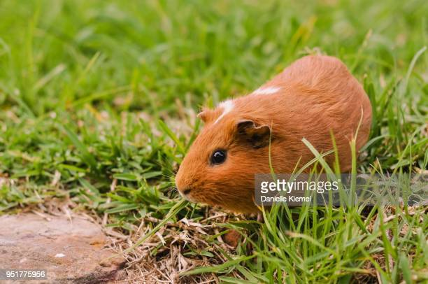 pet guinea pig sitting on grass - guinea pig stock pictures, royalty-free photos & images