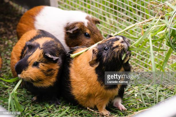 pet guinea pigs eating grass - guinea pig stock pictures, royalty-free photos & images