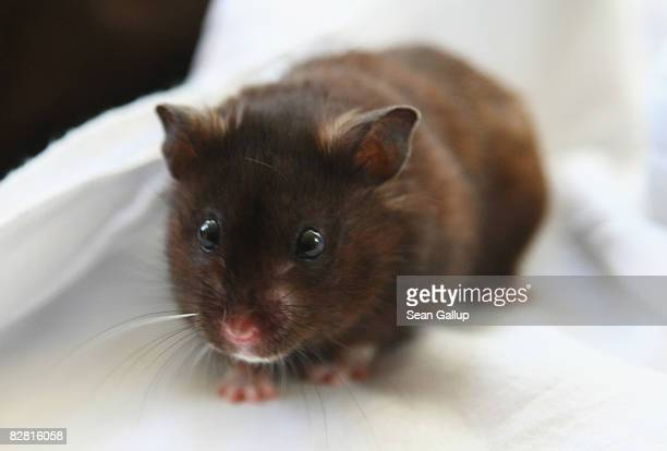 A pet hamster enjoys a brief moment of freedom outside his cage on September 13 2008 in Berlin Germany Hamsters are among the most popular pets for...