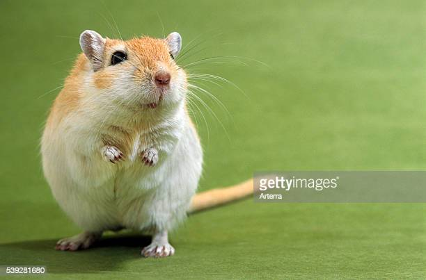 Pet Mongolian gerbil standing up
