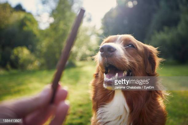 pet owner holding treat for his dog. nova scotia duck tolling retriever during obedience training. - nova scotia duck tolling retriever stock pictures, royalty-free photos & images
