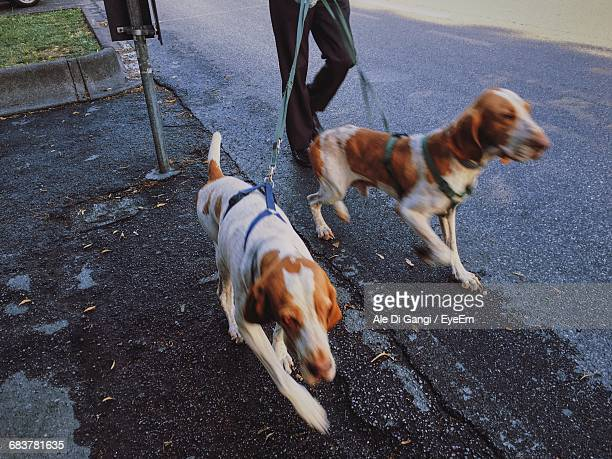 Pet Owner With Dogs Walking On Street