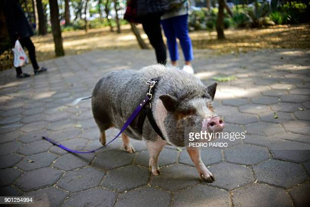 A pet pig called Jacinto is seen walking with a leash at a park in Mexico City on January 4 2018 / AFP PHOTO / PEDRO PARDO
