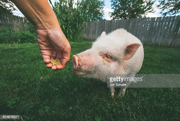 Pet pot belly pig