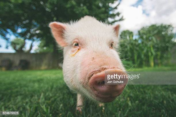 pet pot belly pig - pig nose stock pictures, royalty-free photos & images