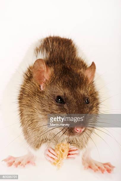Pet rat eating bread.