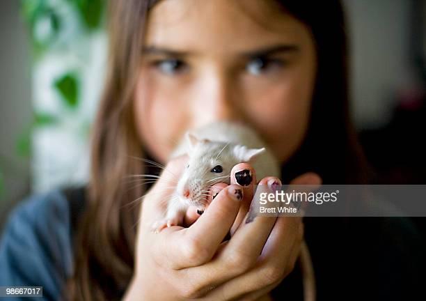 pet rat - gedomesticeerde dieren stockfoto's en -beelden