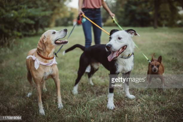 pet sitter and dogs in walk - pet equipment stock pictures, royalty-free photos & images