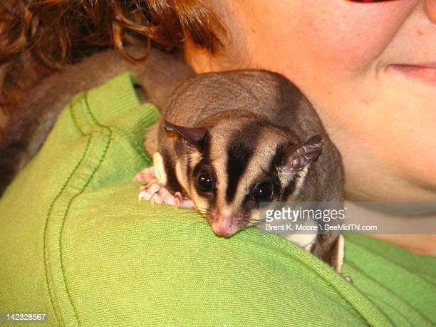 pet sugar glider on lady's shoulder - sugar glider stock photos and pictures