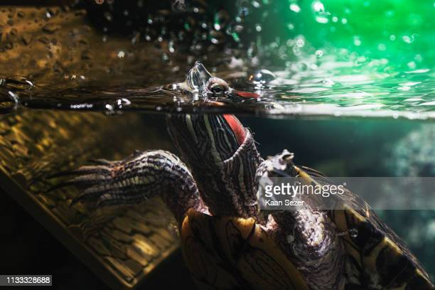 pet turtle red-eared slider or trachemys scripta elegans in aquarium - domestic animals stock pictures, royalty-free photos & images