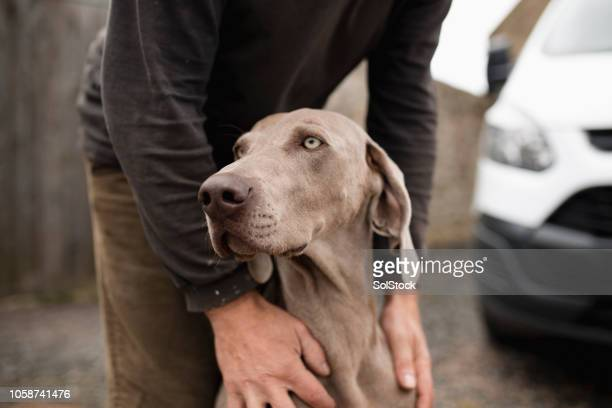 pet weimaraner dog - trained dog stock pictures, royalty-free photos & images