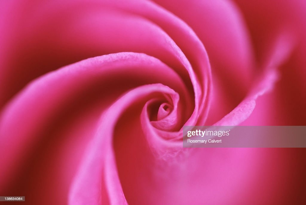 Petal swirl at center of pink rose in soft focus : Stock Photo