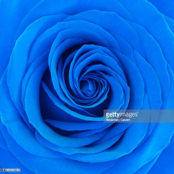 petals at centre of blue rose. - blue stock pictures, royalty-free photos & images