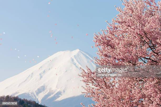 Petals of cherry blossom flying in the air, with Mount Fuji in the background