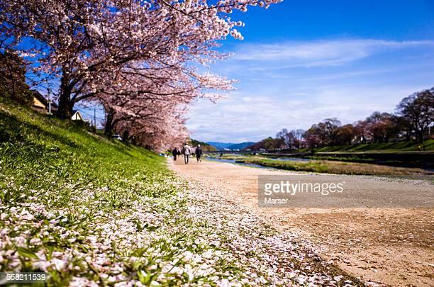 petals of cherry blossom on the weeds - fluss kamo stock-fotos und bilder