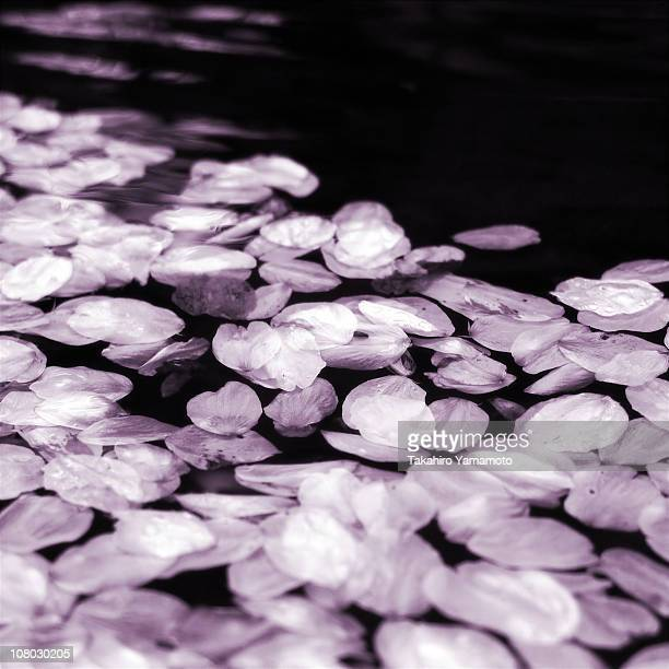 Petals of cherry blossoms fallen on the water