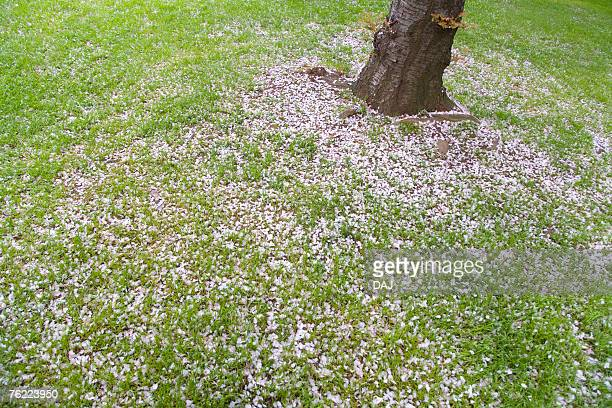 Petals of cherry flowers on lawn, high angle view, Japan