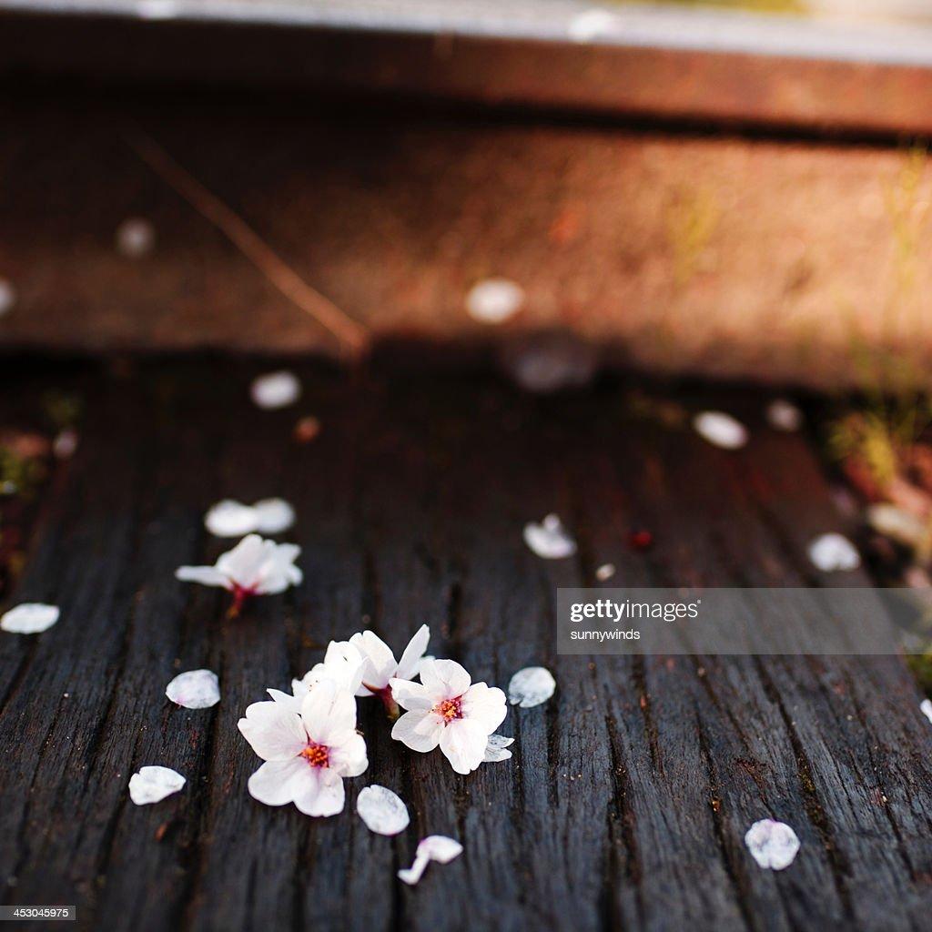 Petals of Sakura : Stock Photo