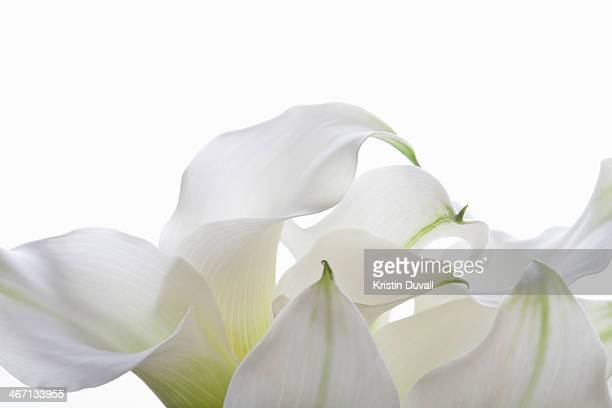 Petals of white calla lilies