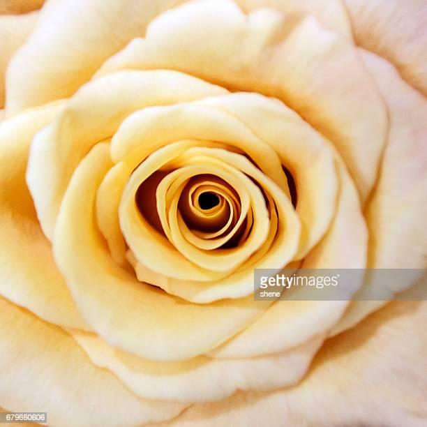 Petals of Yellow Rose