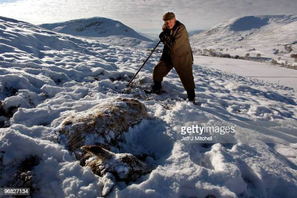 Peter Fraser head stalker on the Invercauld Estate inspects a dead dear in Glen Clunie on February 18, 2010 in Braemar, Scotland. Many deer are...