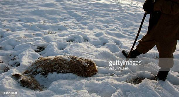 Peter Fraser head stalker on the Invercauld Estate inspects a dead dear in Glen Clunie on February 18 2010 in Braemar Scotland Many deer are facing...