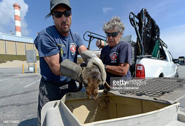 Peter Wallerstein of Marine Animal Rescue Mike Remski place a malnourished sea lion pup in a cage after rescuing it from Dockweiler State Beach on...