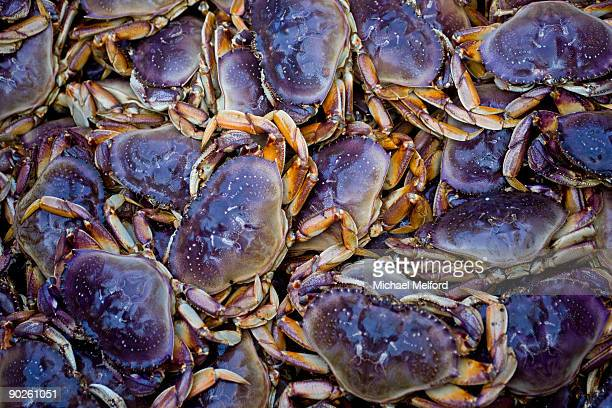 A Dungeness crab catch at a fishery.