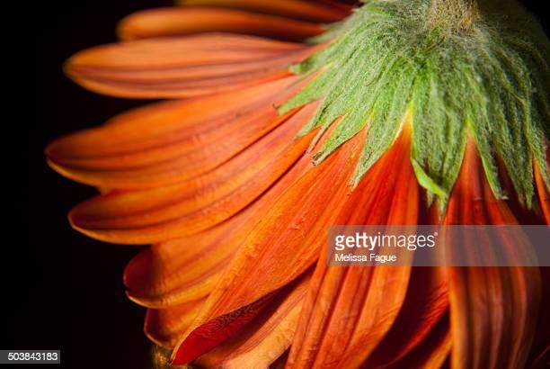 petite petals - melissa fague stock pictures, royalty-free photos & images