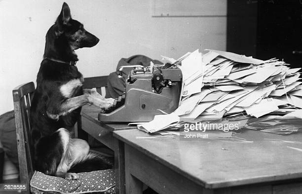 Petra the Alsatian dog from the BBC's children's programme 'Blue Peter' answering her fan mail