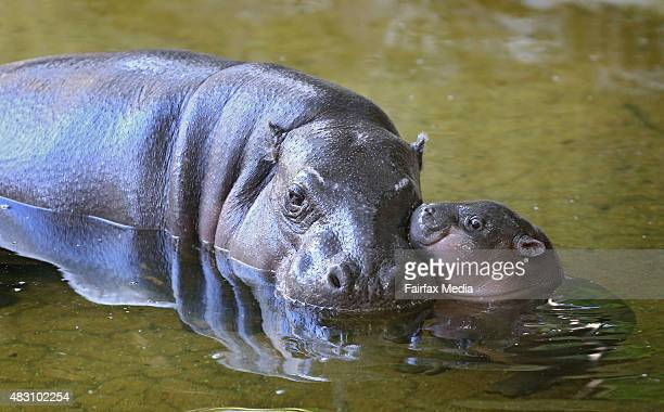 Petre the West African pygmy hippopotamus is seen with her baby calf Obi to celebrate her 31st birthday at Melbourne Zoo on August 4 2015 in...