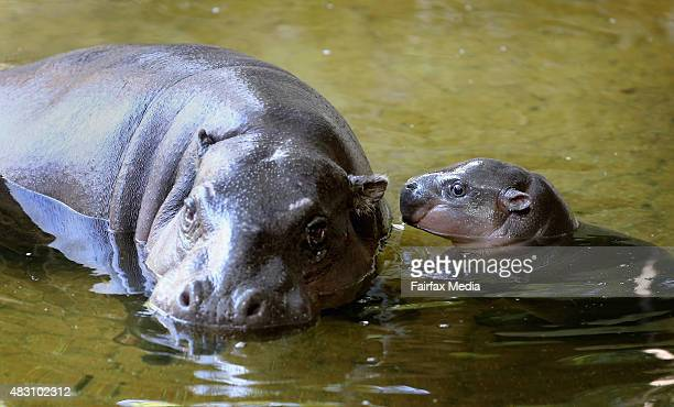 Petre the West African pygmy hippopotamus is seen with her baby calf Obi to celebrate her 31st birthday at Melbourne Zoo on August 4, 2015 in...