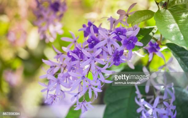 Petrea volubilis flower