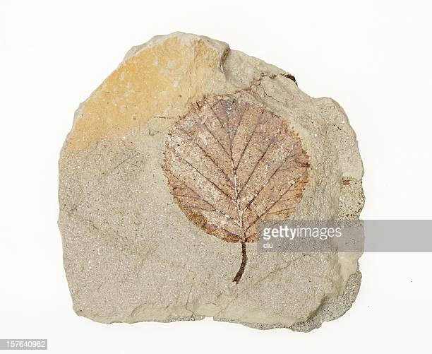 petrification of a leaf - petrified wood stock pictures, royalty-free photos & images