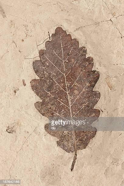 Petrification of a leaf