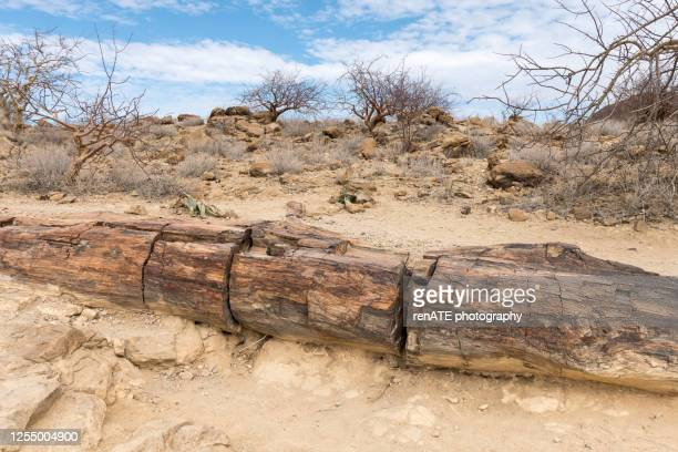 petrified wood - petrified log stock pictures, royalty-free photos & images