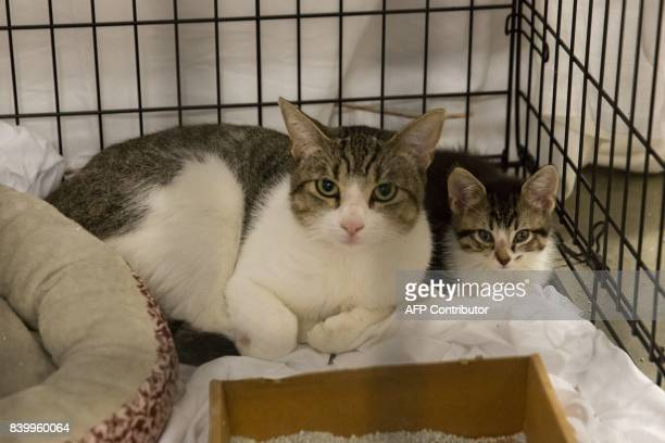Pets belonging to evacuees sit in a crate at the Delco Center in east Austin Sunday August 27 2017 The Red Cross says if needed they are prepared to...