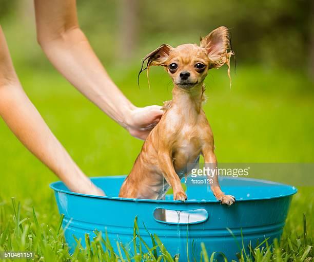 Haustiere: Süße Chihuahua Hund wird ein Bad.  Backyard.  Sommer.