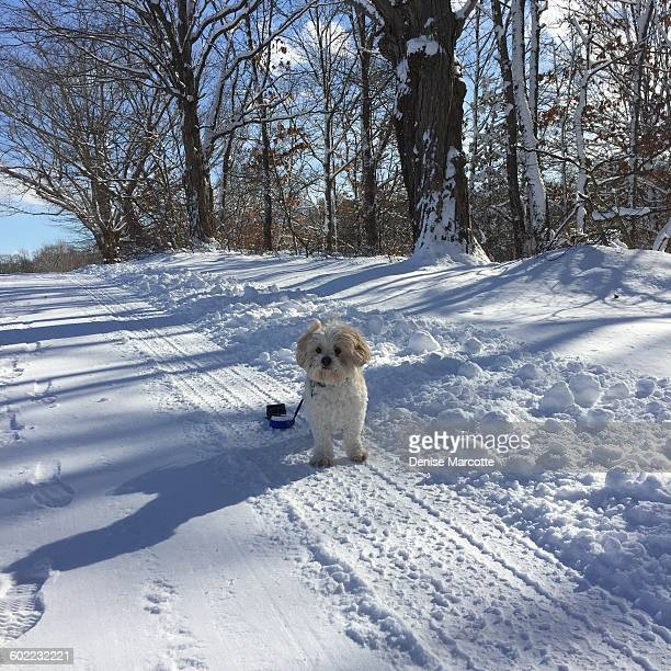pets in the snow - lhasa apso stock photos and pictures