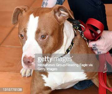 Pets of the week SPCA. Pet 2, Tsunami, 2 year old spayed American Staffordshire Terrier. 7/19/16 photo by Tim Leedy