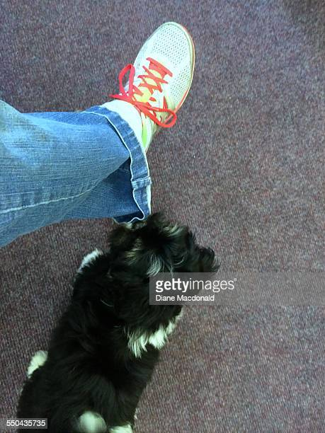 pov - pets - lhasa apso stock photos and pictures