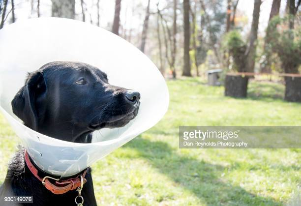 pets - elizabethan collar stock photos and pictures
