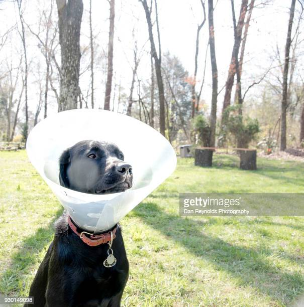 pets - protective collar stock pictures, royalty-free photos & images